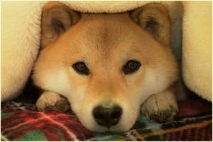 柴犬まる 画像